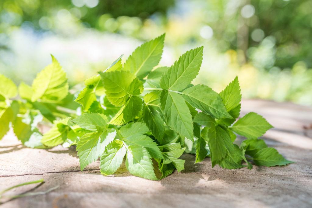 Wildkräuter-Rezepte mit Giersch Quiche aus dem Garten im Frühling