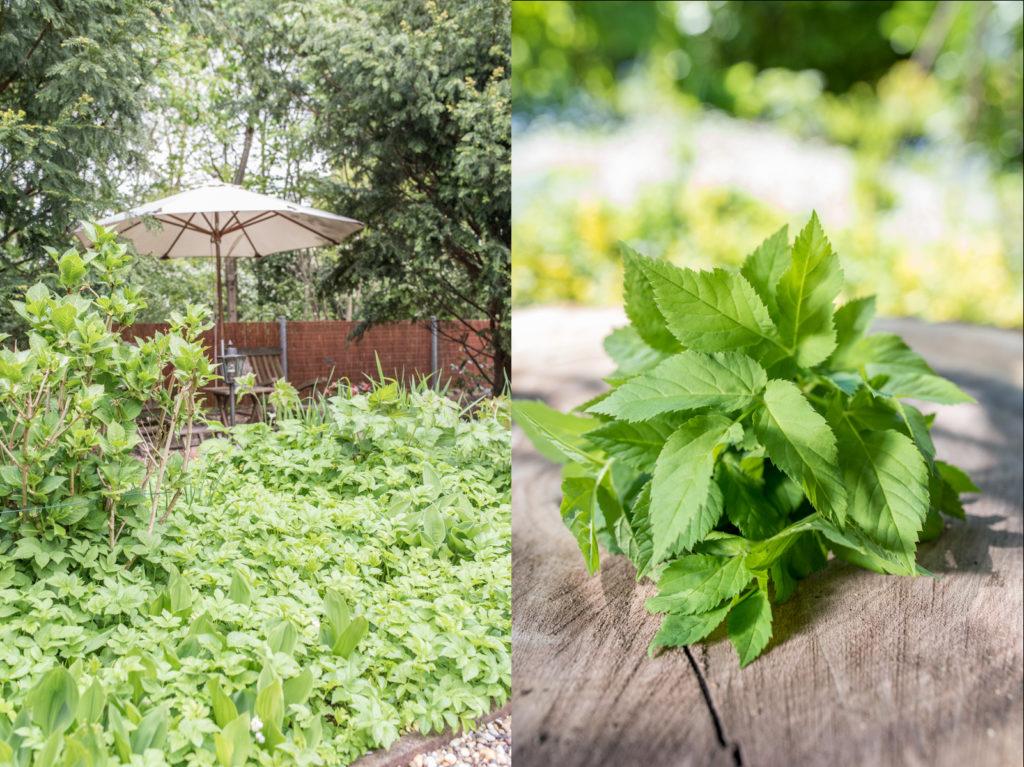 Leckere Wildkräuter Rezepte mit Giersch aus dem Garten im Frühling