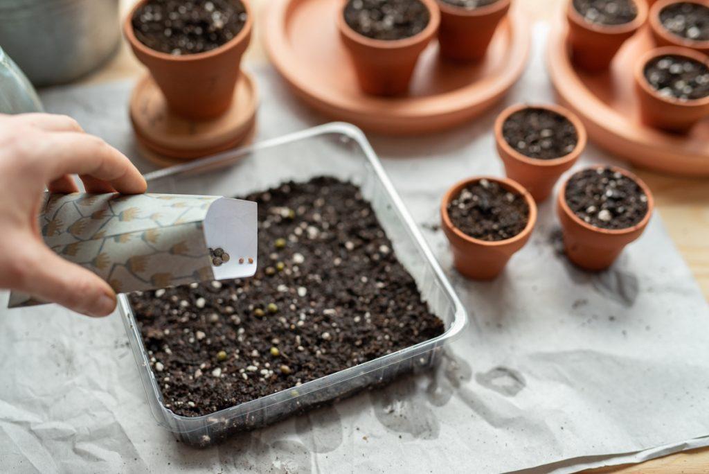 Aussaat vom Tomaten und Gemüsepflanzen im März mit Microgreens für leckere Salate und Bowls