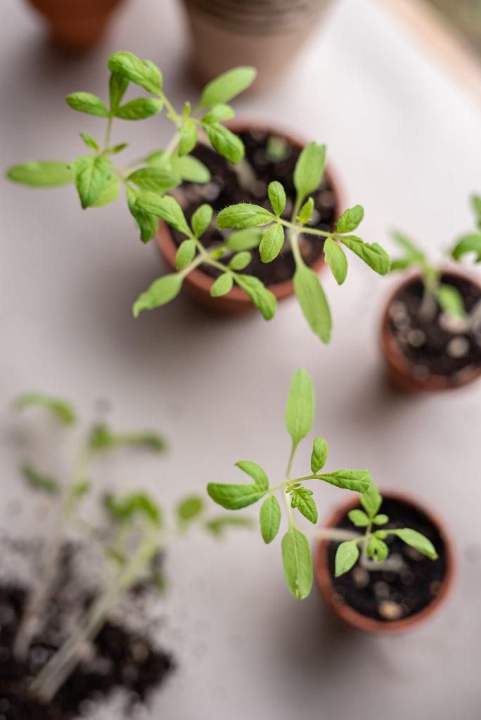 Start ins Gartenjahr mit der Aussaat vom Tomaten und Gemüsepflanzen im März