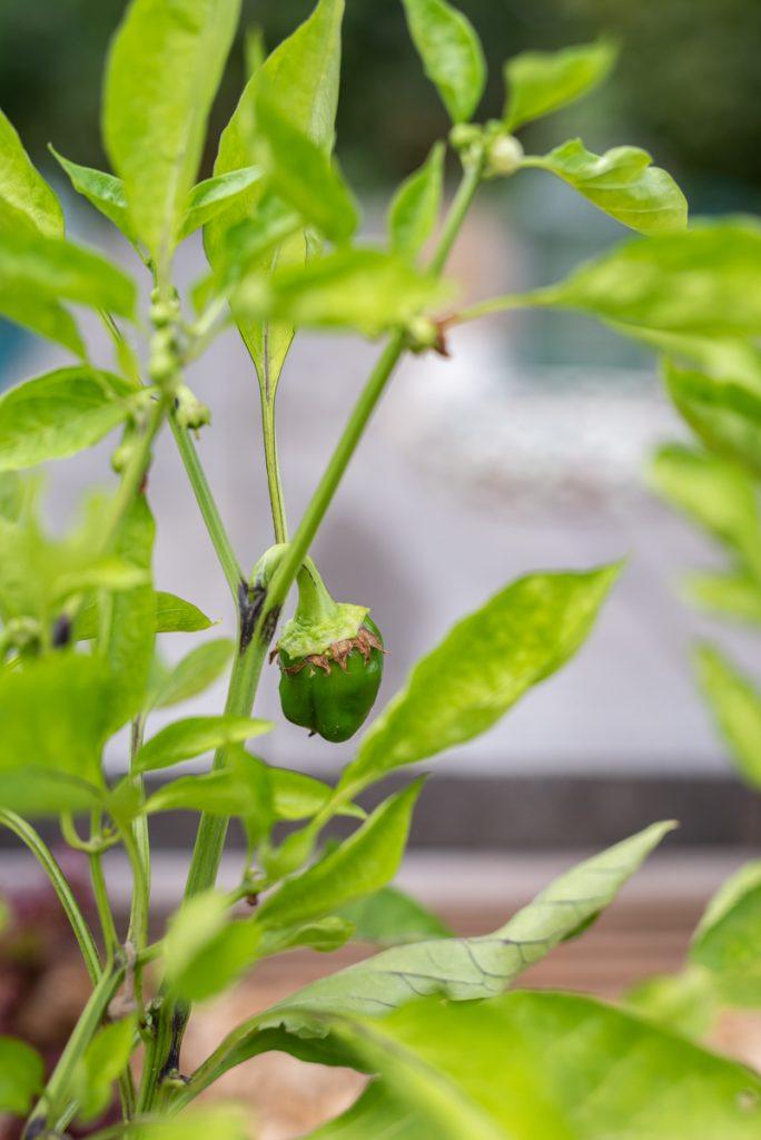 Gemüse Ernte im Hochbeet im Garten mit Gemüse in Bio Qualität von Naturtalent by toom